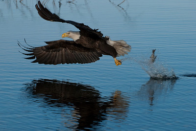 Bald Eagles 09