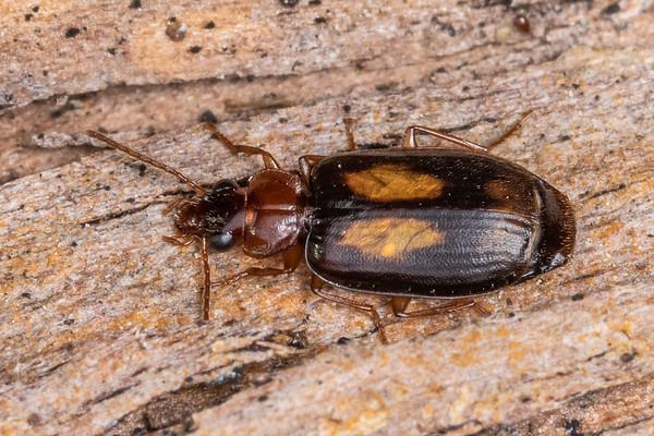Agonocheila antipodum