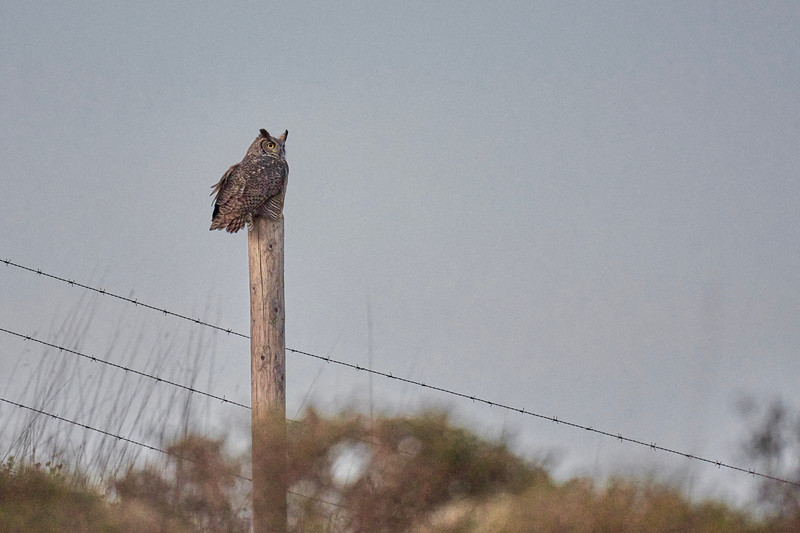 Great Horned Owl in Point Reyes after Sunset