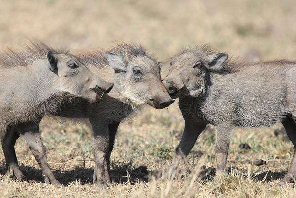 Prey Animals of the Mara Reserve Kenya 2012