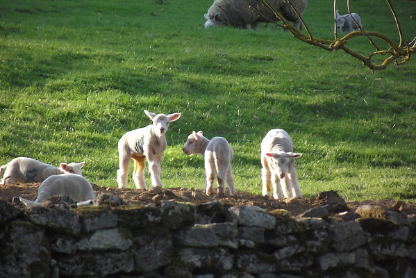 Spring Lambs & Sheep