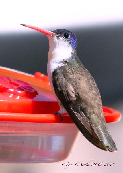 Violet Capped Hummingbird