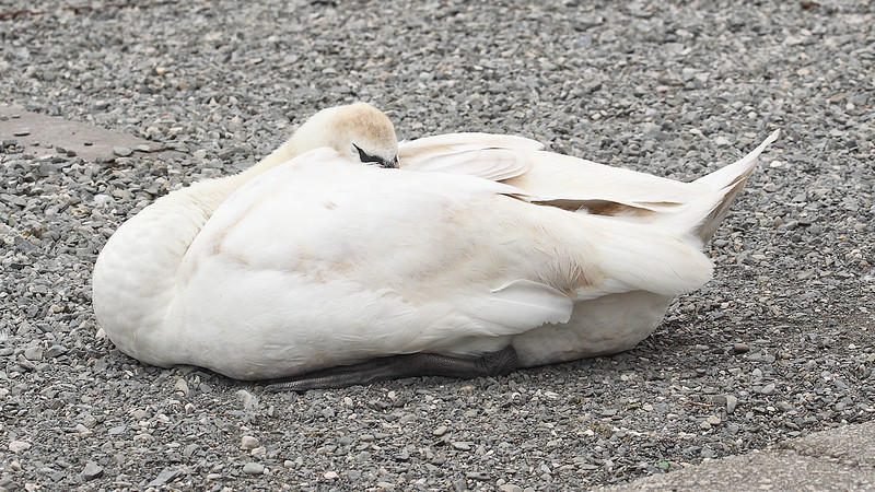 Another Sleeping Swan