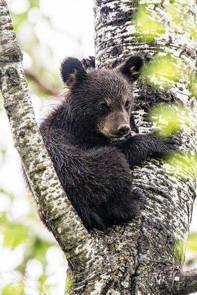 20120520-_Q2C6530Black_Bears-Edit-Edit.jpg