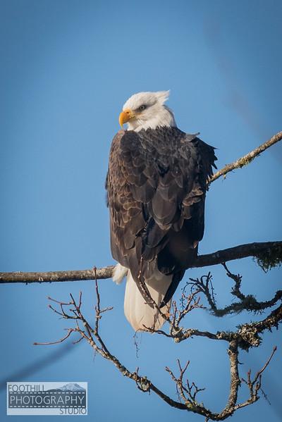 Eagle Sml-16.jpg