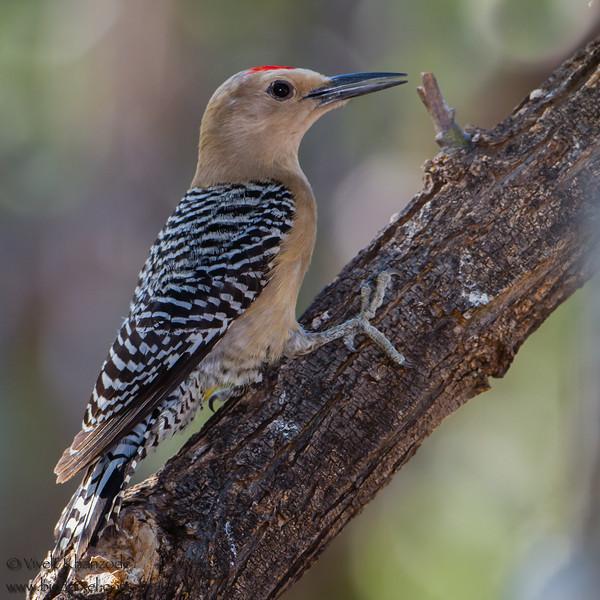 Gila Woodpecker - Ash Canyon B&B, Hereford, AZ, USA
