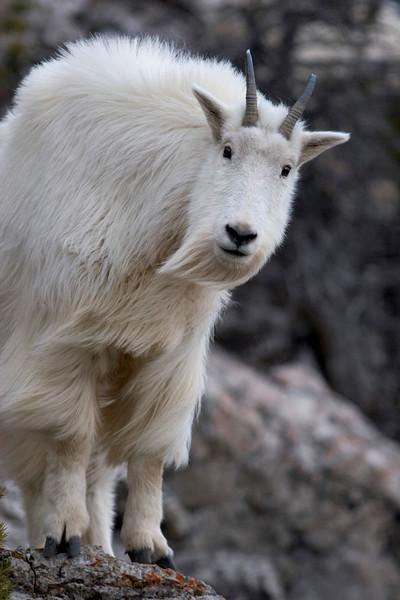 mt.goat3.jpg