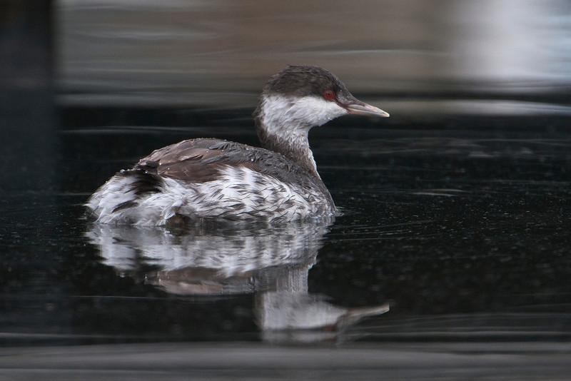 Grebe - Horned - non-breeding plumage - Grand Marais, MN - 03
