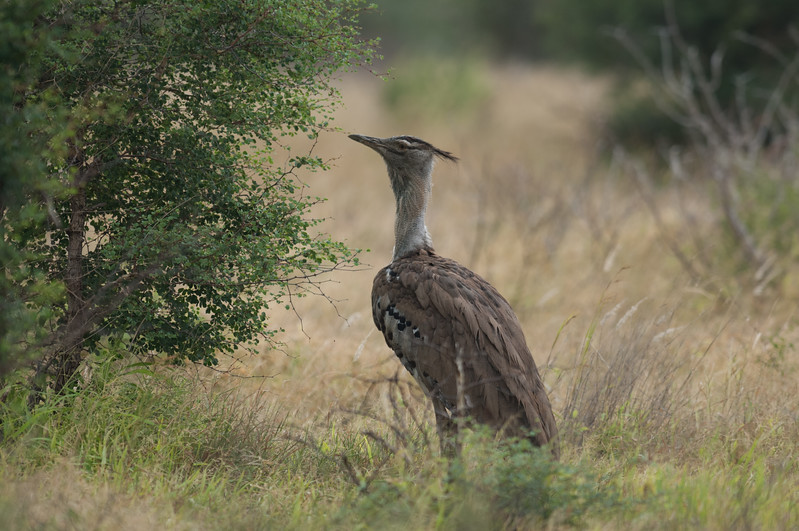 Kori Bustard, Kruger National Park