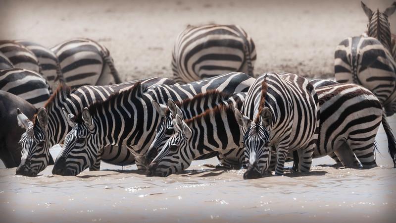 serengeti zebra drink 0416.jpg
