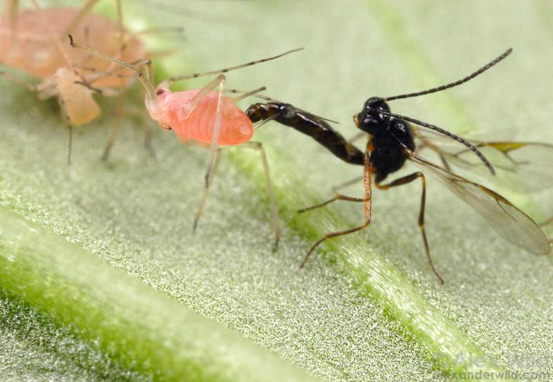 Aphidius ervi - biocontrol wasp attacking Acyrthosiphon pisum pea aphids.    Laboratory colony at the University of Arizona