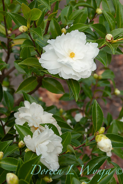 Camellia sasanqua 'White Doves'_0253.jpg