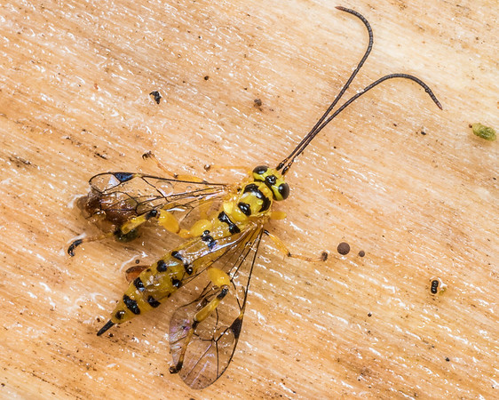 Xanthopimpla rhopaloceros - Yellowbanded leafroller parasite