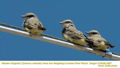WesternKingbirdsN3897.jpg