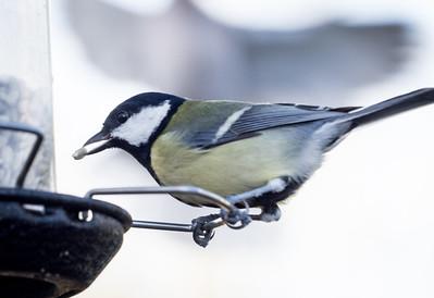 Garden Birds 2nd Feb 2016