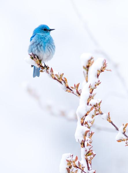 Mountain Bluebird in snow Yellowstone National Park WY DSC04811.jpg