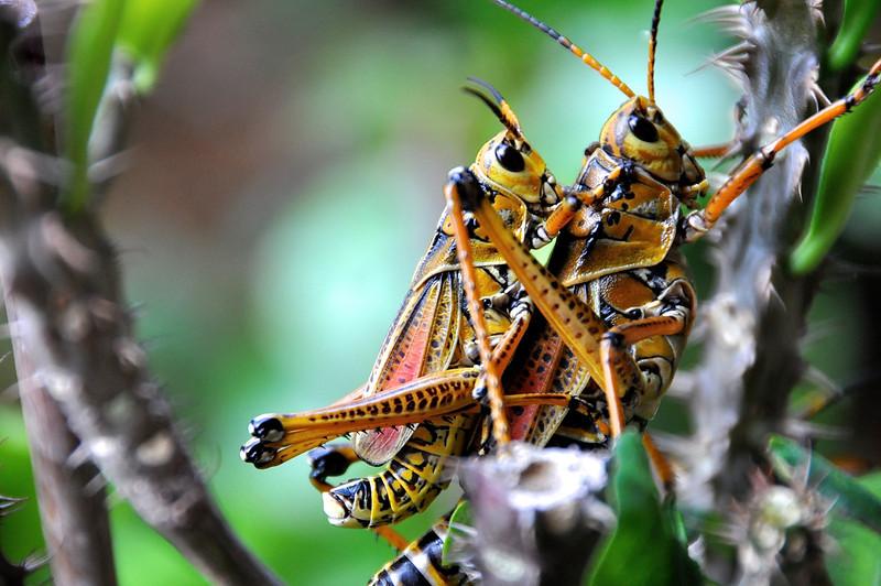 Grasshopper Love