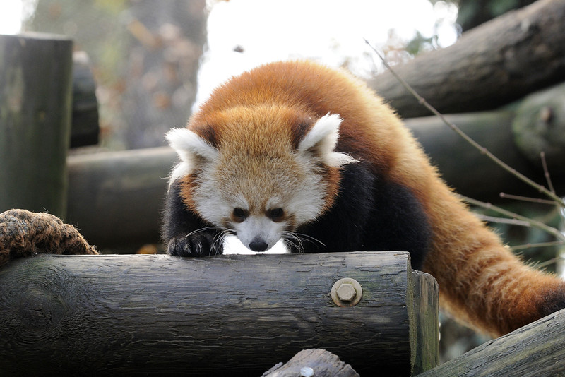 A red panda cub plays outside at the Knoxville Zoo in Knoxville, TN on Tuesday, December 16, 2014. Copyright 2014 Jason Barnette