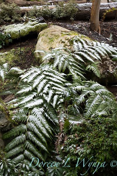 Woodwardia unigemmata dusted with snow_1089.jpg