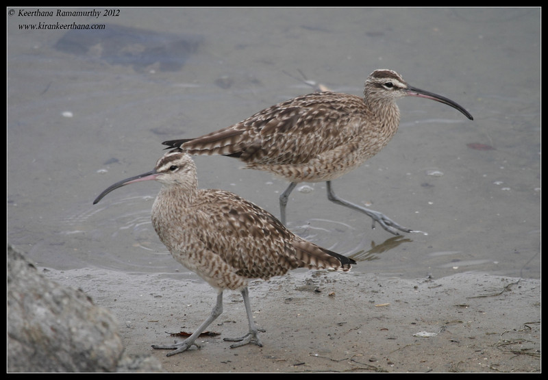 Whimbrels, Robb Field, San Diego River, San Diego County, California, February 2012