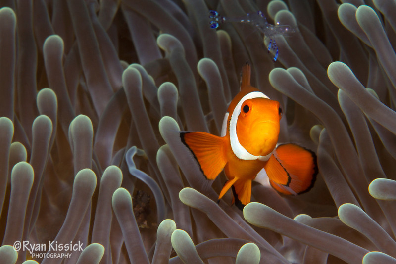 False clown anemonefish with shrimp in background