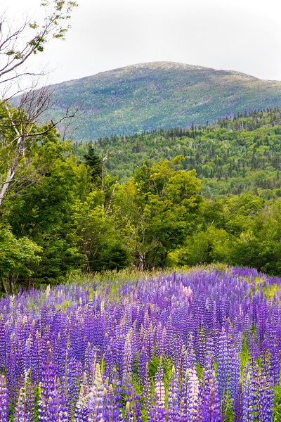 Lupine at Saddleback looking towards the Horn.