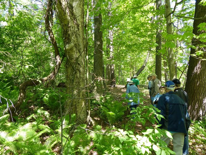 WBFN members admiring the massive vine attached to Yellow Birch tree.