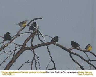 WesternMeadowlarks&Starlings32216.jpg