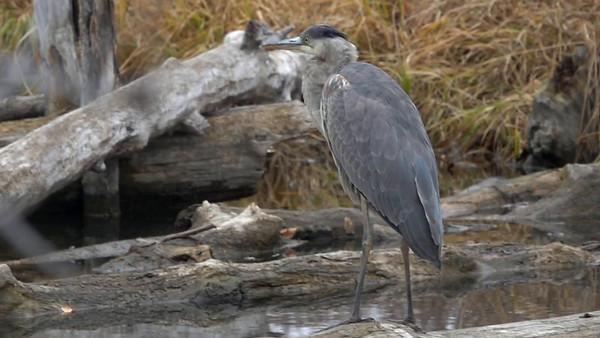 11-2-18 Great Blue Heron