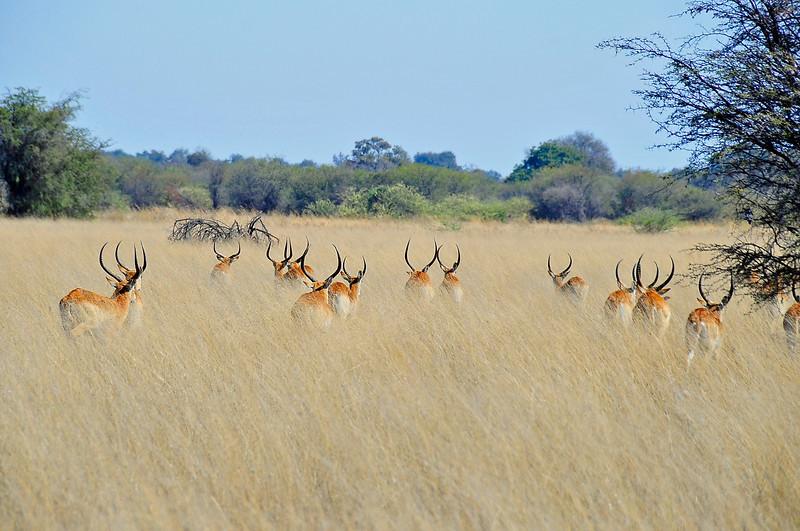EPV1009 Red Lechwe Bachelor Herd in High Grass