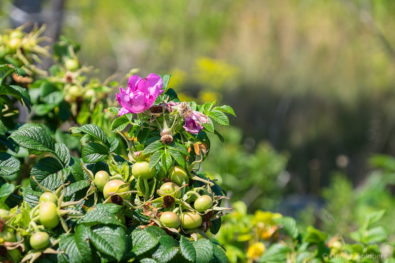 late season wild rose and rose hips