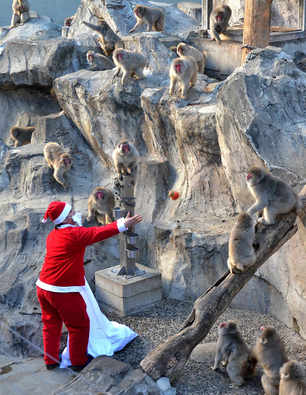 . A zookeeper wearing a Santa Claus costume feeds fruit and vegetables to Japanese macaques at Tokyo\'s Ueno Zoo on December 24, 2013.  The event was part of an annual \'Christmas gifts\' attraction.   YOSHIKAZU TSUNO/AFP/Getty Images