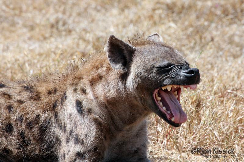 A hyena yawning