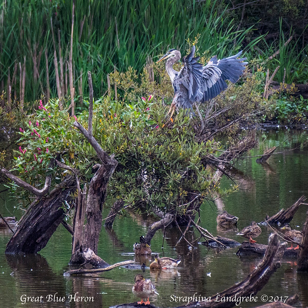 _DSC9514Greawt Blue Heron.jpg