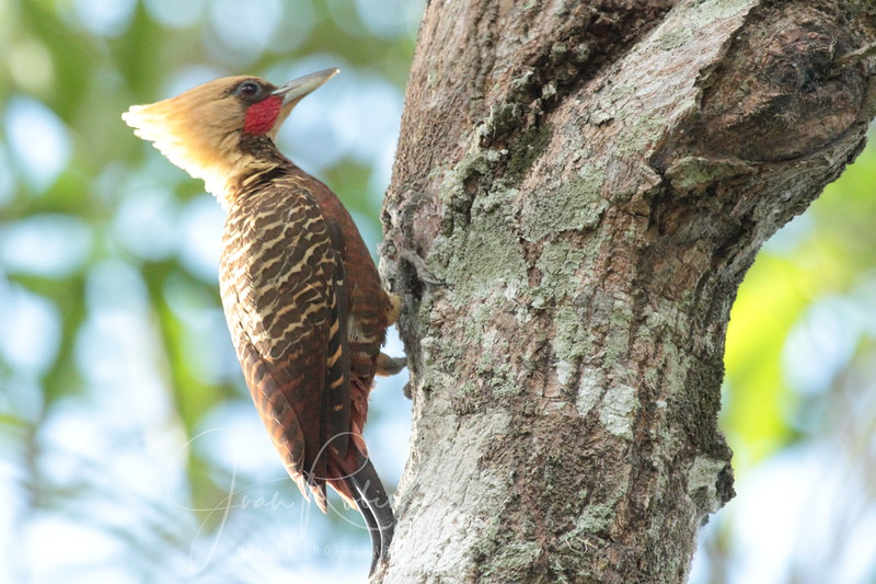 Pale-crested Woodpecker