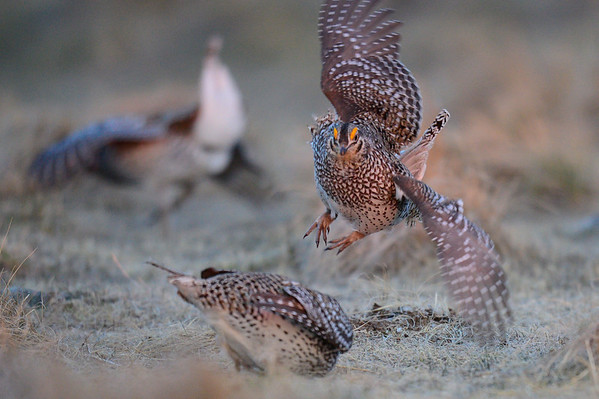 4 2013 Apr 25 Sharp-tailed Grouse