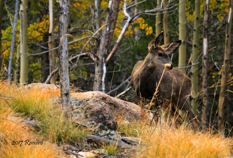 Mule Deer Doe IMG_0929.jpg