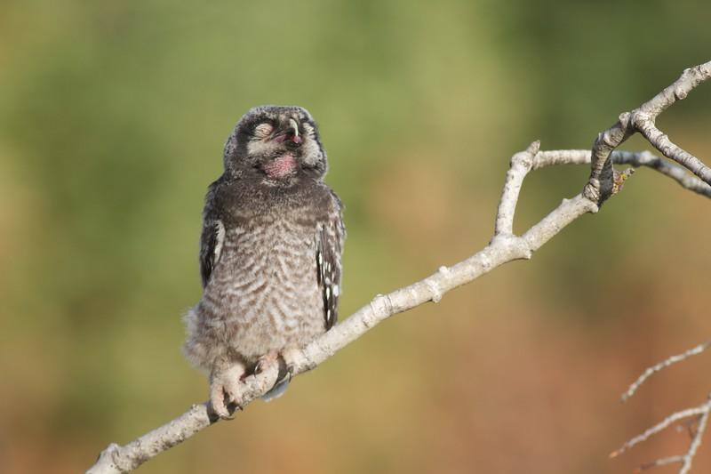 Northern Hawk Owl baby juvenile Owl Ave Sax-Zim Bog MN IMG_1120.jpg