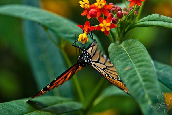 Butterflies at Cox Arboretum Dayton, Ohio