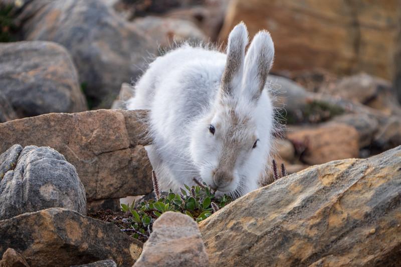 Arctic hare (Lepus arcticus), or polar rabbit,