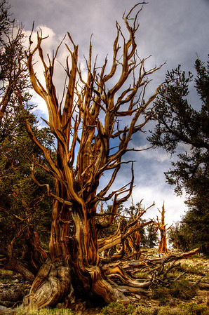 California Bristol Cone Pine Forest