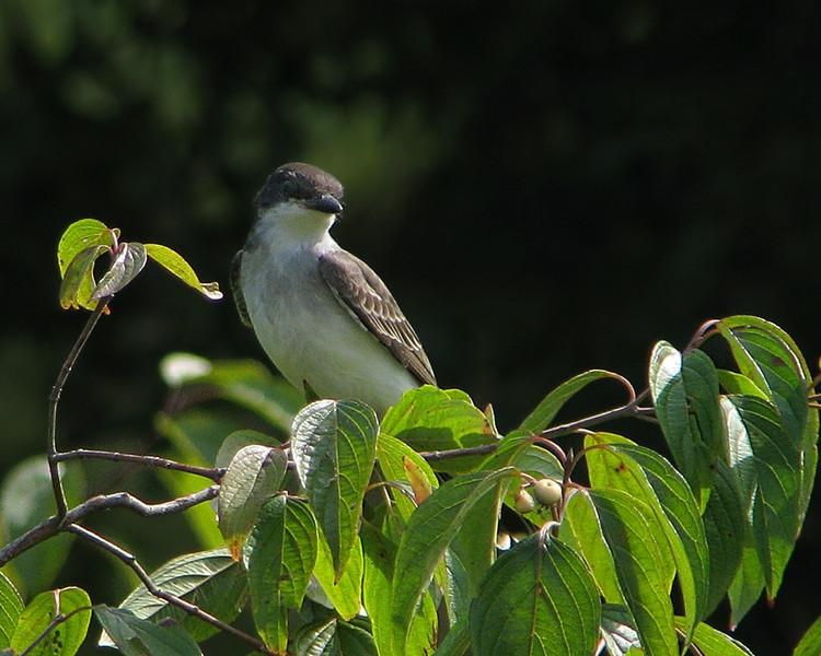 eastern_kingbird_4993.jpg