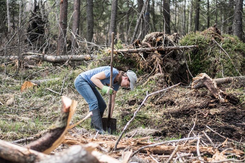tree planting FOSZB Warren Nelson Bog Blue Spruce Road Sax-Zim Bog MN DSC07412.jpg