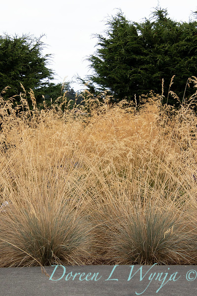 Festuca glauca 'Elijah Blue' – grass landscape_1350.jpg