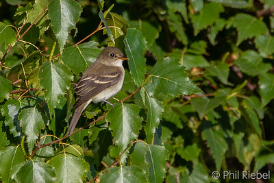 Flycatchers and Allies