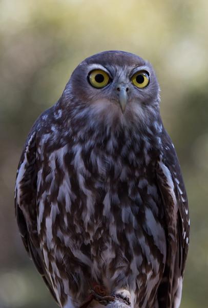 Barking owl, Kangaroo Island