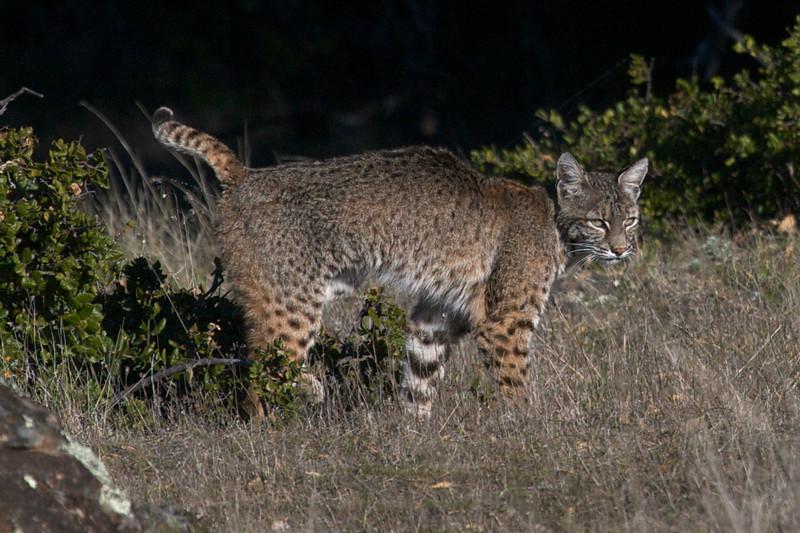 Bobcat, 01.18/19.09 - Marin County