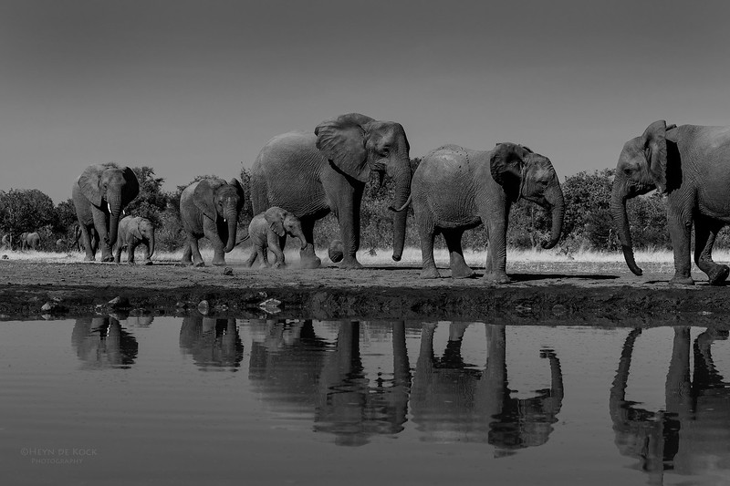 African Elephant, b&w, Mashatu GR, Botswana, May 2017-5.jpg