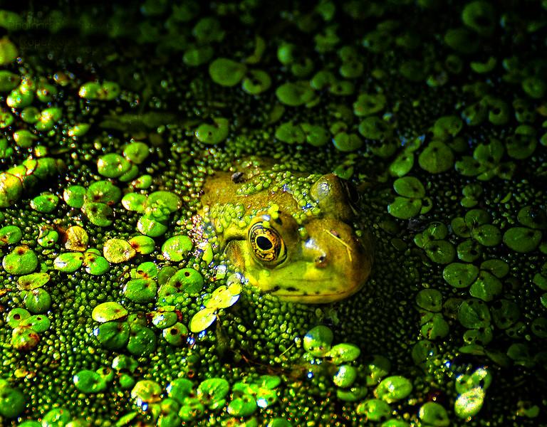 046 Green frog at Horicon Marsh 2   .jpg