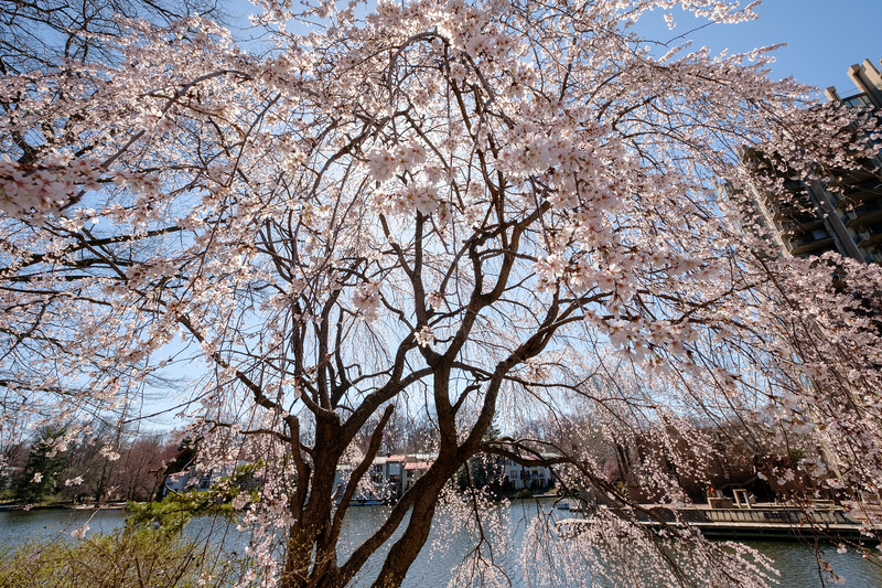 Weeping cherry blossom over Lake Anne